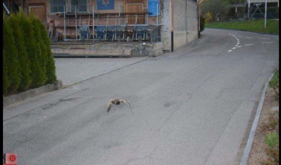 News Prodotto: Autovelox: beccata a 52 km/h. Peccato, è un'anatra!