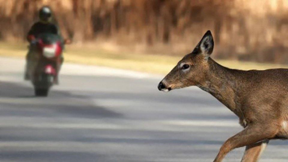 Moto - News: Moto contro animale selvatico in autostrada: info utili per il risarcimento