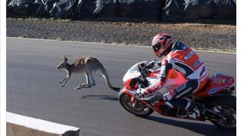 News: A kangaroo on the track... but it is not Stoner