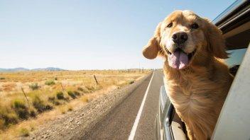 Auto - News: Codice della Strada: trasportare un cane in automobile